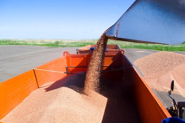 Caricando il grano in un camion, il grano viene versato nella parte posteriore di un'auto da un secchio di semina del trattore...