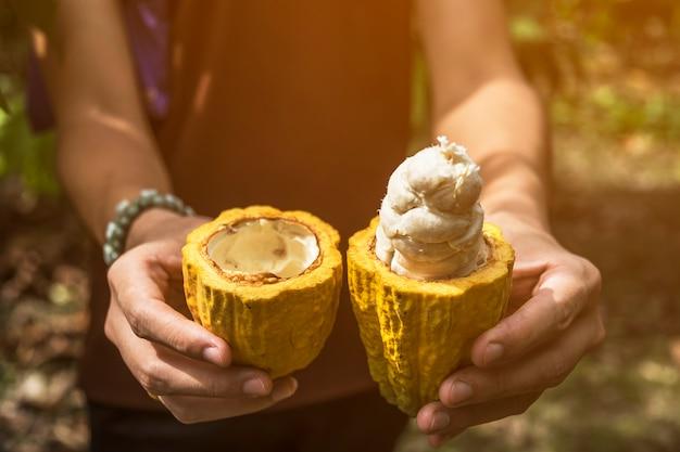 Frutto di cacao, baccello di cacao fresco in mano,
