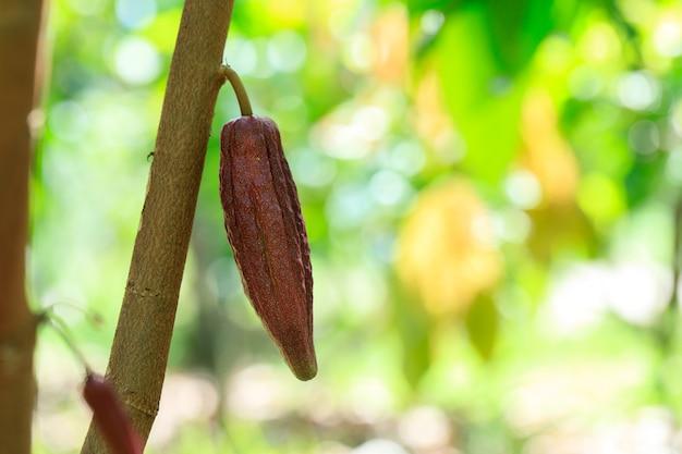 Albero del cacao (theobroma cacao). baccelli di frutta al cacao biologico in natura.