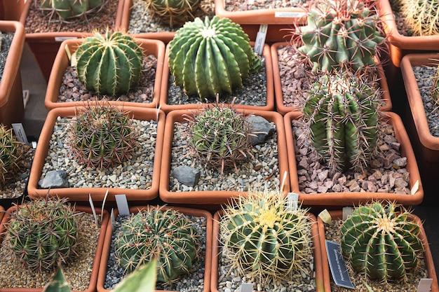 Cactus, pianta da dessert in molti tipi e forma con l'ago come foglia. varietà di cactus in vaso e giardino. pianta succulenta crescere area secca.