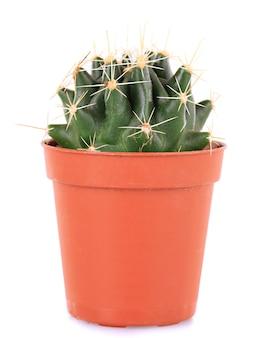 Cactus in vaso di fiori, isolato su sfondo bianco