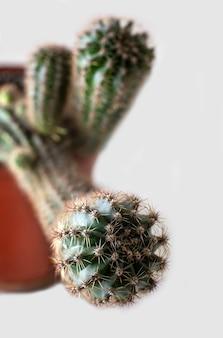Testa di cactus in vaso di fiori, pianta da appartamento spinosa con aghi appuntiti