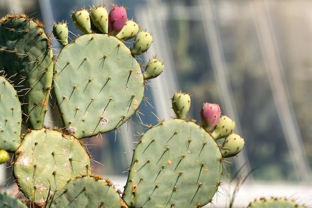 Paesaggio di cactus. coltivazione di cactus. campo di cactus. sciabole, frutti di opuntia ficus-indica.