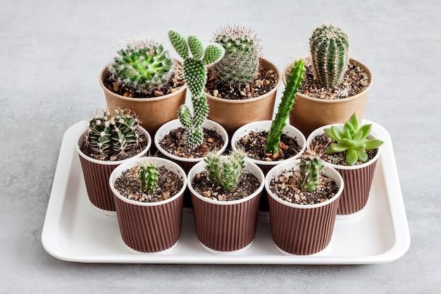 Raccolta di cactus e piante grasse in piccoli bicchieri di carta su un vassoio. casa & giardino