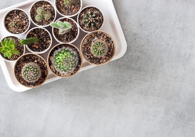 Raccolta di cactus e piante grasse in piccoli bicchieri di carta su un vassoio. vista dall'alto