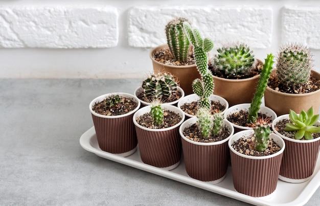 Raccolta di cactus e piante grasse in piccoli bicchieri di carta su un vassoio