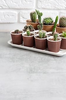 Collezione di cactus e piante grasse in bicchierini di carta su vassoio