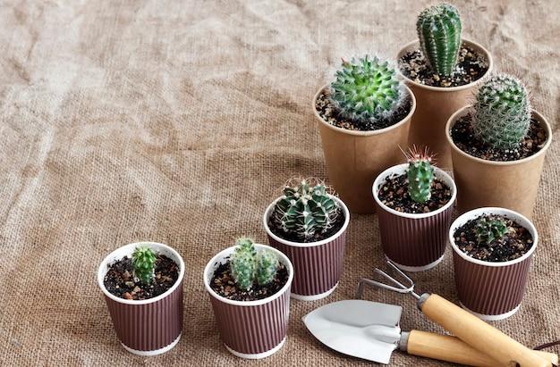 Collezione di cactus e piante grasse in piccoli bicchieri di carta.