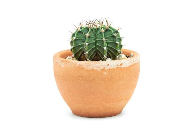 Cactus in un vaso di terracotta su sfondo bianco.