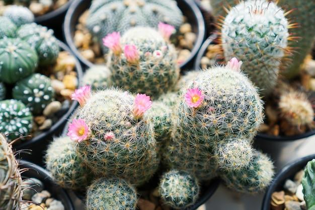 Vista dall'alto di cactus