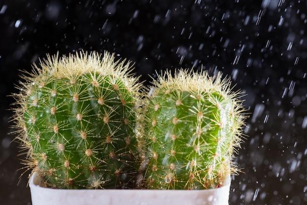 Cactus con gocce di rugiada e piove su sfondo nero.