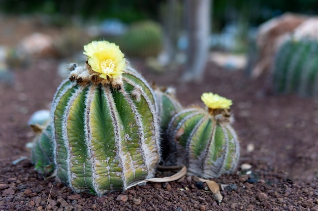Cactus con fiori che crescono all'aperto nel giardino dell'istituto weizmann in israele