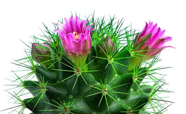 Cactus con fiori isolati su bianco. cactus fiorito.