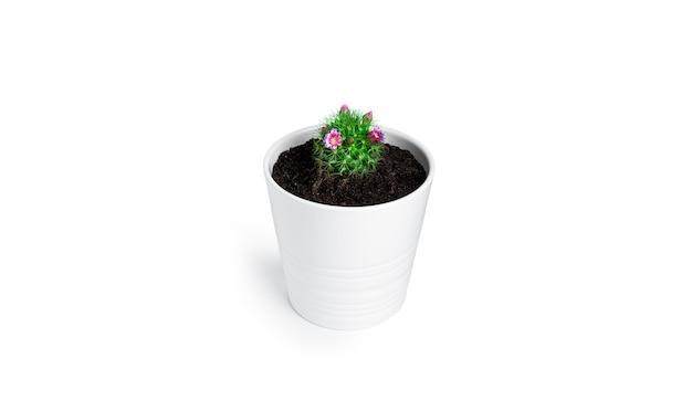 Cactus con fiori in vaso bianco isolato. cactus in fiore