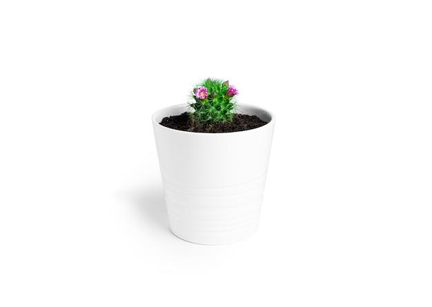 Cactus con fiori in vaso bianco isolato su uno sfondo bianco. cactus fiorito. foto di alta qualità