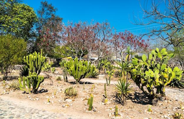 Cactus presso il sito archeologico di mitla a oaxaca, messico