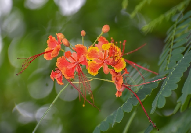 Caesalpinia close up fiori rossi e gialli con foglie verdi