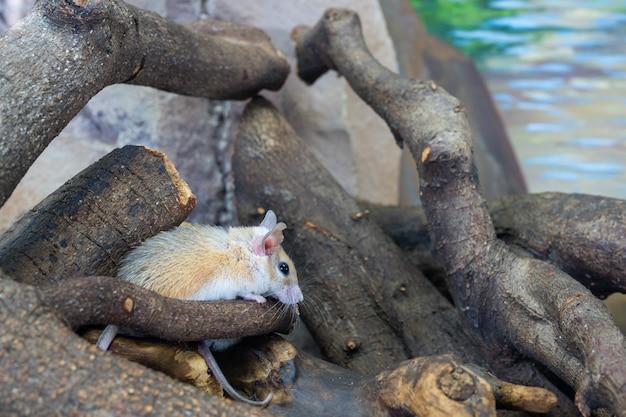 Il topo spinoso del cairo (acomys cahirinus), noto anche come topo spinoso comune, topo spinoso egiziano o topo spinoso arabo, è una specie notturna di roditore della famiglia muridae il primo piano.