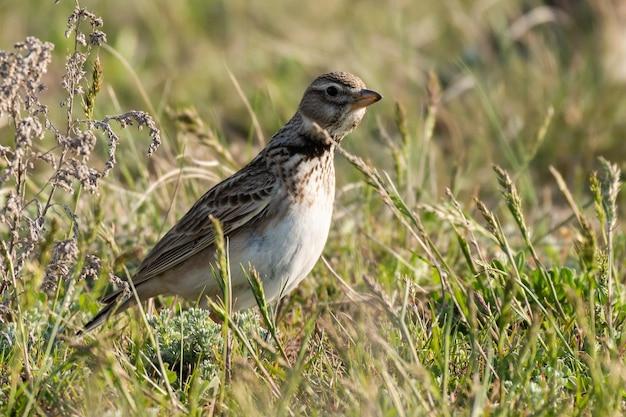Calandra allodola uccello melanocorypha calandra nella steppa primaverile.