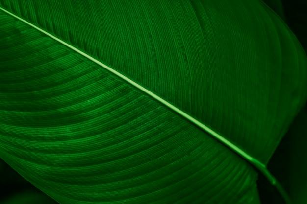 Sfondo di ripresa macro foglia di calathea lutea