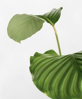 Foglie di calathea orbifolia isolate su uno sfondo bianco sporco