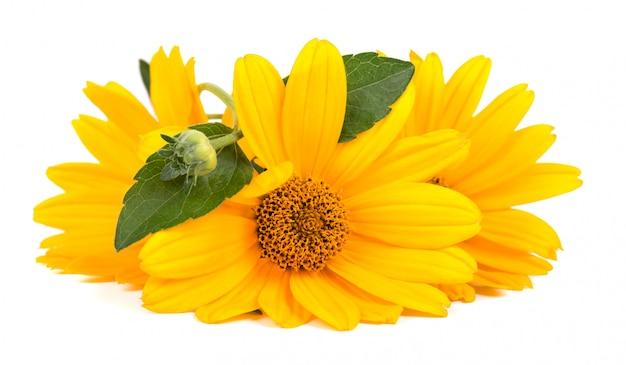 Fiori di calendula isolati fiore di calendula erbe medicinali.