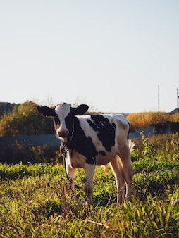 Vitello al pascolo su un prato verde nel villaggio in autunno, close-up.