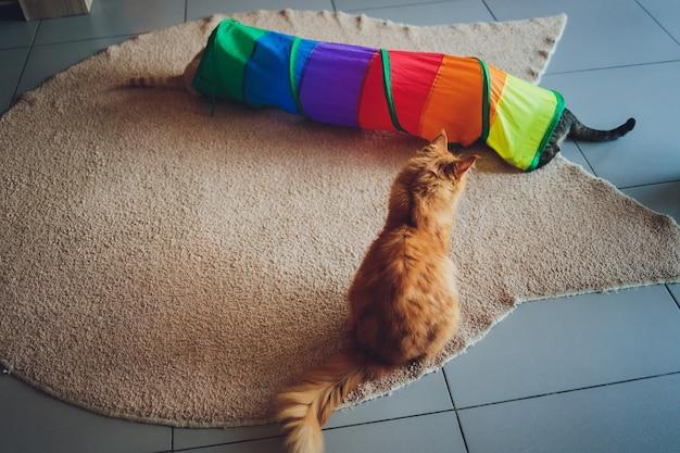 Gatto calico incorniciato e vigile nel giocattolo del tunnel per gatti.