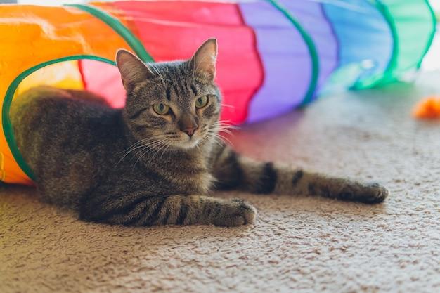 Gatto calico incorniciato e allerta nel giocattolo del tunnel per gatti