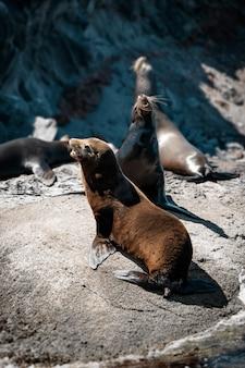Leoni marini della california sulle rocce di isla coronado