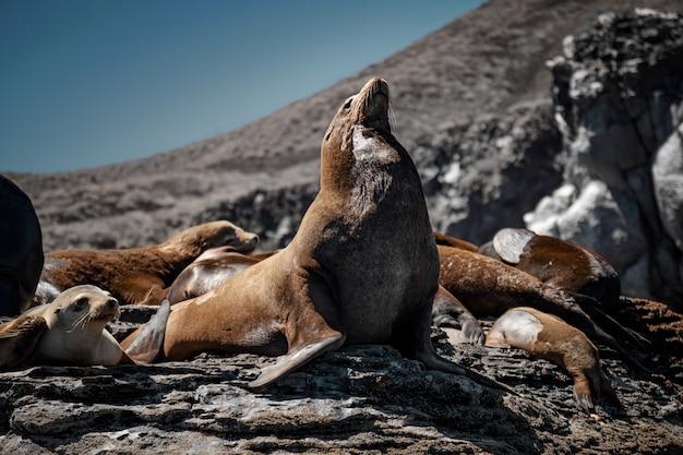 Leoni marini della california a prendere il sole sulle rocce di isla coronado. baja california, golfo di california.