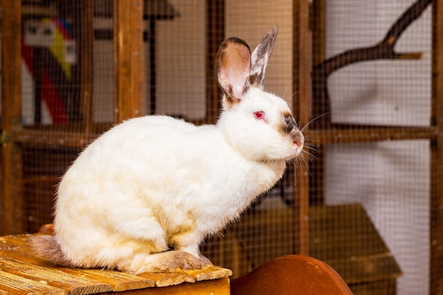 Il coniglio bianco della california si siede su un supporto di legno allo zoo