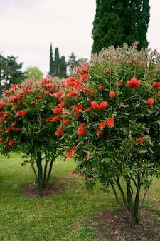 Cespugli di callistemon che sbocciano con fiori rossi in un parco verde