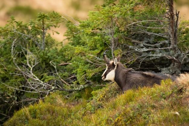 Calma camoscio dei tatra che stabilisce su una collina nelle montagne autunnali
