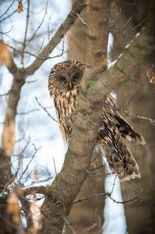 Calma gufo degli urali seduto su un albero in inverno