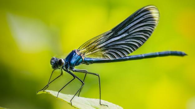Calopteryx splendens la libellula in metallo blu scuro è seduta su una foglia verde