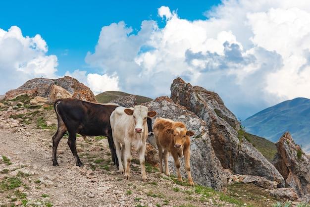 Vitelli su una strada di montagna rocciosa