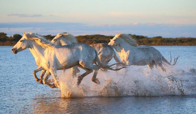 I cavalli della camargue corrono meravigliosamente lungo l'acqua della laguna