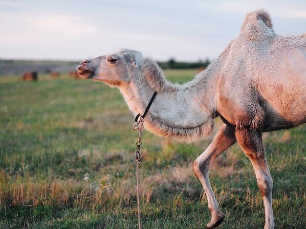 Cammello che mangia erba in un campo safari parco paesaggi mammiferi