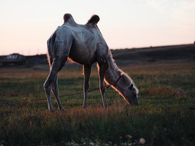 Cammello che mangia erba verde campo safari parco animale