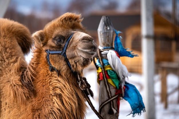 Maschio di cammello in siberia