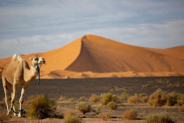 Cammello nel deserto del sahara in marocco