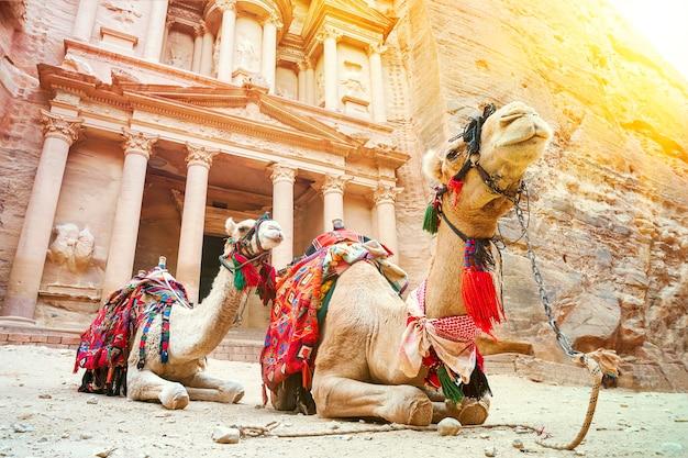 Cammelli per trasportare i turisti nella città perduta di petra. cammelli davanti al tesoro di petra, l'antica città di al khazneh in giordania.