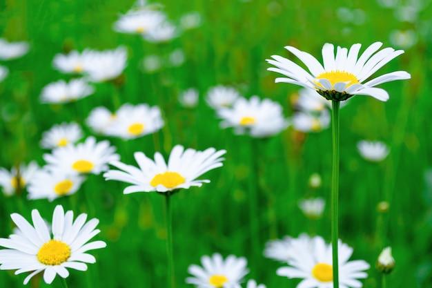 Campo di camomilla. prato verde e fiori gialli bianchi luminosi, belli, delicati.