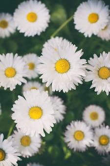 Fiori di camomilla su sfondo sfocato erba verde giardino all'aperto design pianta medicinale a base di erbe