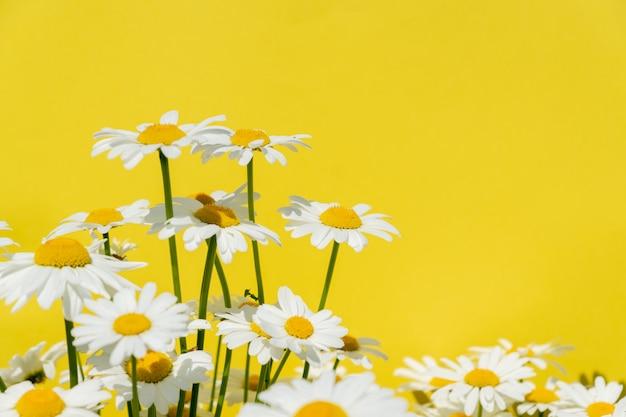 Fiori di camomilla su uno sfondo giallo brillante, copia spazio per il testo.