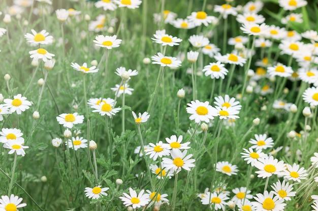 Camomilla nella natura. giacimento di fiori della margherita della camomilla nel giorno di estate. sfondo di fiori di camomilla.