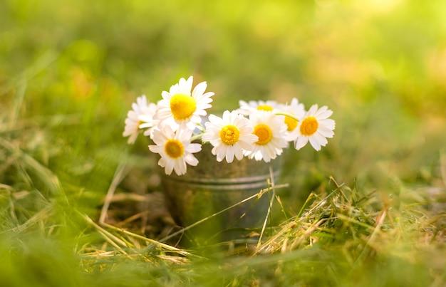 Camomilla nel secchio di metallo piccolo sull'erba