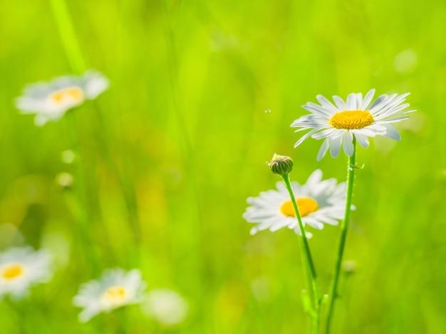Fiori di camomilla su una superficie di erba verde in una soleggiata giornata estiva