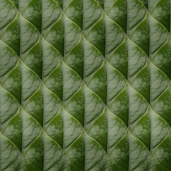 Il reticolo delle foglie verdi della canfora ha organizzato il fondo della natura.